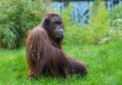 Orangutaní samice