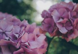 Hortenzie: nádherná rostlina, která dokáže měnit barvy svých květů